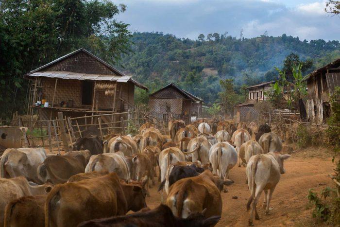19-grazing-cows,-myanmar--