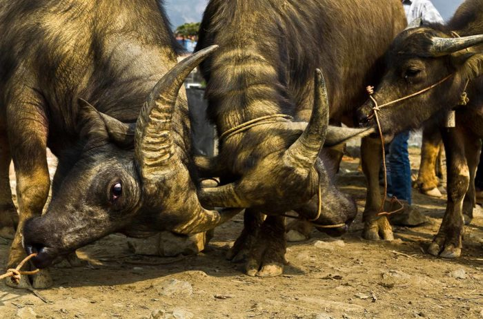 47-water-buffaloes-waiting-to-be-sold-at-the-market,-north-