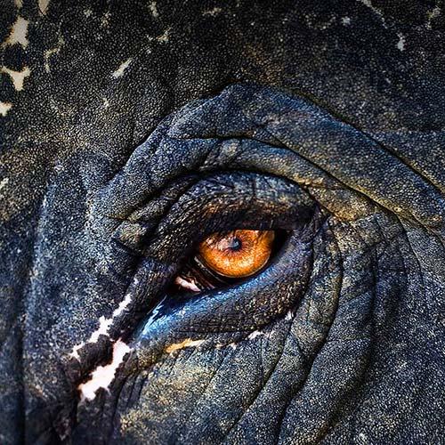 occhio-d'elefante
